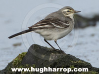 Citrine Wagtail by Hugh Harrop