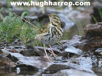Olive-backed Pipit by Hugh Harrop