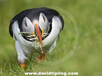Puffin by David Tipling