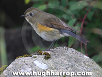 Red-flanked Bluetail by Hugh Harrop