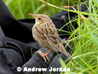 Lanceolated Warbler by Andrew Jordan
