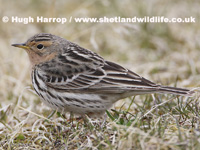Red-throated Pipit by Hugh Harrop
