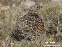 Pin-tailed Sandgrouse by Hugh Harrop