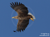 White-tailed Eagle by Hugh Harrop