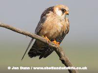 Red-footed Falcon  by Jon Dunn