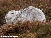 Arctic Hare by Richard Parker