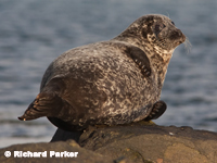 Common Seal by Richard Parker