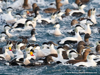 King and Common Eider frenzy by David Stimac