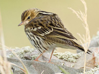 Pechora Pipit by Tony Temple