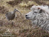 Curlew and friend by Hugh Harrop