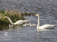Whooper Swans and cygnets by Hugh Harrop
