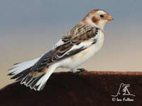 Snow Bunting by SW traveller Ian Fulton