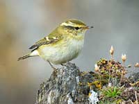 Yellow-browed Warbler by SW traveller Tony Temple