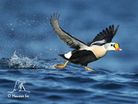 King Eider by Maurice Lee
