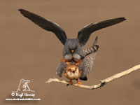 Red-footed Falcons by Hugh Harrop