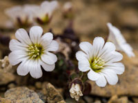 Edmonston's-Chickweed by Sofie Larsson