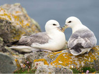 Fulmars by SW traveller Sofie Larsson