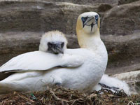 Gannet and chick by Hugh Harrop