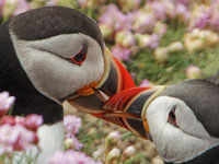 Puffins by SW traveller Andy Crofts