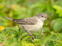 Barred Warbler by Tony Temple