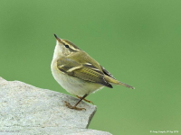 Yellow-browed Warbler by Tony Temple