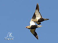 Black-bellied Sandgrouse by Jeff Smith