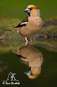 Hawfinch by Dave Bartlett