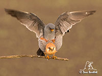 Red-footed Falcons by Dave Barlett