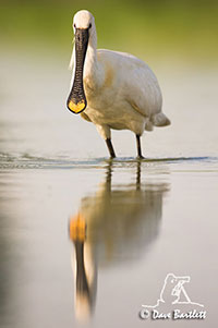 Spoonbill by Dave Bartlett