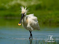 Spoonbill by Robert Cave