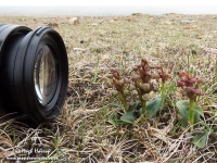 Photographing Frog Orchids by Hugh Harrop