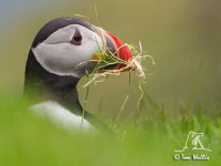 Puffin by Tom Wallis