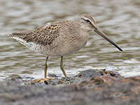 Long-billed Dowitcher by Hugh Harrop