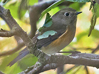 Red-flanked Bluetail by Tony Loaring