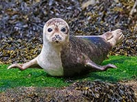 Common Seal by Dave Potter