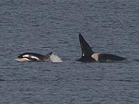 Orcas by Mick Durham