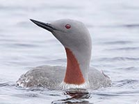 Red-throated Diver by Hugh Harrop