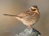 Britain's first ever Siberian Accentor by Hugh Harrop
