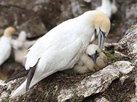 Gannet with chick by Rosalind Gray