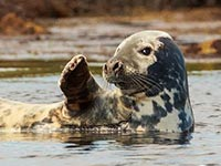 Grey Seal by Dave Potter