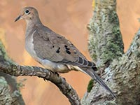 Mourning Dove by Hugh Harrop - the first record for Shetland