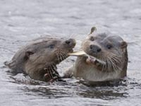 Otters by Tim Stenton