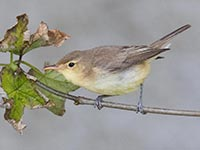 Melodious Warbler by Hugh Harrop