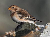 Snow Bunting by Ian Fulton