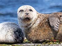 Common seal and pup by Hugh Harrop