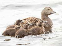 Eider with her brood by Hugh Harrop