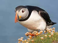Puffin by Sofie Larsson