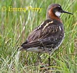 Red Necked Phalarope by Emma Perry