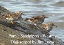 Purple Sandpipers by Jim Lucas